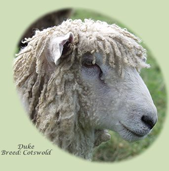 Cotswold Sheep Duke